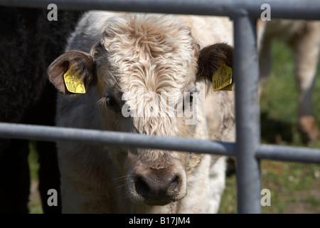 Neugierig schauenden Kuh hinter einem Zaun Stacheldraht in eine ...