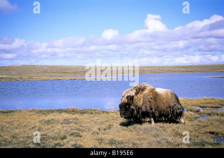 Erwachsenen Bull Moschusochsen (Ovibos Moschatus), Victoria-Insel, Nunavut, arktischen Kanada - Stockfoto