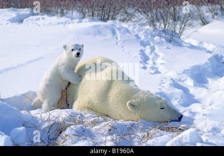 Mutter Eisbär (Ursus Maritimus) und 3 - Monate altes Jungtier vor kurzem entstanden aus ihrer Winterhöhle, Western - Stockfoto