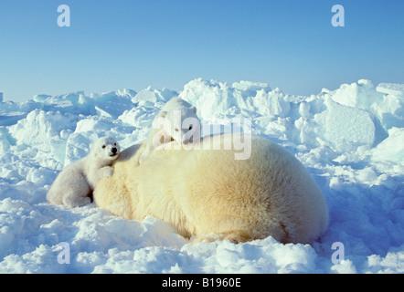 Mutter Eisbär (Ursus Maritimus) mit Twin 3 - Monate alten Jungen ruht auf Packeis, Western Hudson Bay, Kanada. - Stockfoto