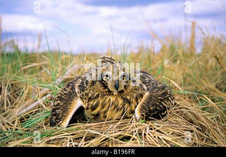 Erwachsenen weiblichen Sumpfohreule (Asio Flammeus) Helmdecke auf sein Nest, Zentral-Alberta, Kanada - Stockfoto