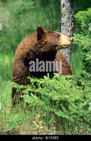 Zimt-farbigen amerikanischen Schwarzbären (Ursus Americanus), Montana, USA. - Stockfoto