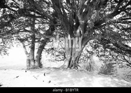 Bäume mit Schnee bedeckt - Stockfoto
