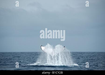 Buckelwal Impressionen Novaeangliae tail slapping Haapai-Group-Tonga - Stockfoto