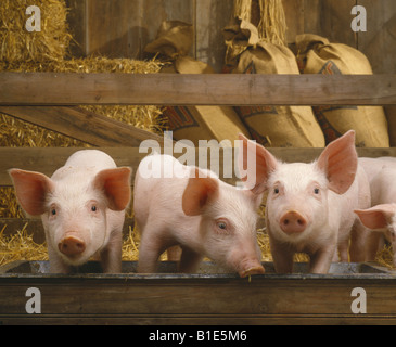 30 35 LB 6 WOCHEN ALTEN FEEDER SCHWEIN STUDIO - Stockfoto