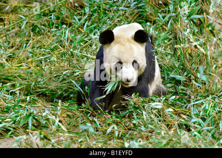 Giant Panda Fütterung auf Bambus-Blätter - Stockfoto