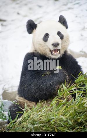 Giant Panda Fütterung auf Bambus Woolong China - Stockfoto