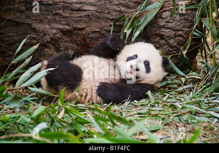 Baby Pandabären Woolong China - Stockfoto