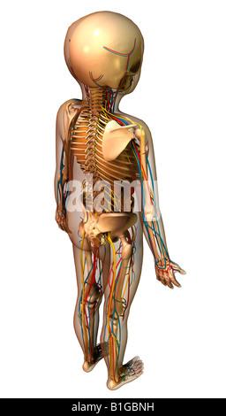Anatomie des Kindes Mit Organen Kind Anatomie mit Organen Stockfoto ...