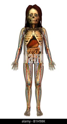 Skelett und menschlichen Organen Stockfoto, Bild: 36972864 - Alamy