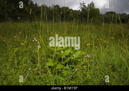 Biene Orchidee in Sevenoaks, Kent, UK - Stockfoto