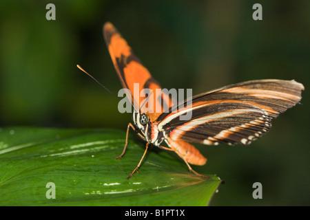 Landeplatz: Caroniflambeau Dryadula Phaetusa landet eine orange und schwarze Motte auf einem grünen Blatt - Stockfoto