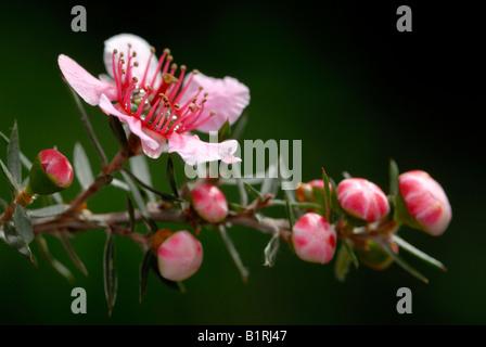 Manuka, Teebaum (Leptospermum Scoparium) - Stockfoto