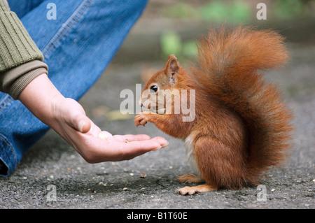 Europäische Eichhörnchen Gettig Essen - Stockfoto