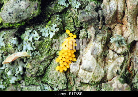 Seven-Spot Ladybird - Eiern / Coccinella Septempunctata - Stockfoto