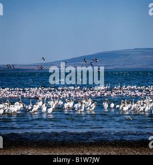Lesser Flamingo Phoenicopterus minor flamant weiße Pelikane Pelecanus Onocrotalus Lake Nakuru Nationalpark Kenia - Stockfoto
