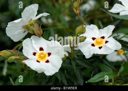 Cistus X cyprius Blumen im Garten Großstrauch - Stockfoto