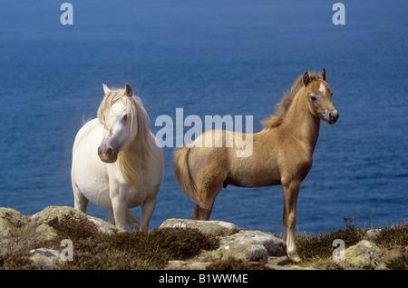 zwei welsh Mountain Ponys - Stute mit Fohlen - Stockfoto