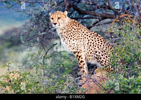 Ein Gepard (Acinonyx Jubatus) im Etosha Nationalpark, Namibia - Stockfoto