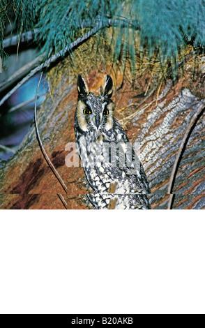 Lange eared Eule Asio Otus Anza Borrego State Park Kalifornien USA Februar Erwachsenen leptogrammica - Stockfoto