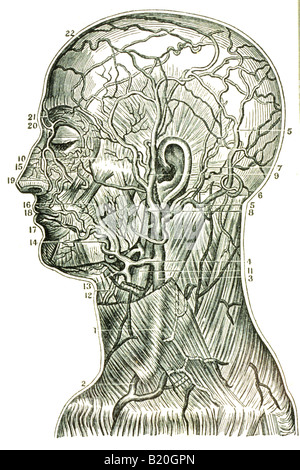 Arterien des Kopfes Stockfoto, Bild: 7710834 - Alamy