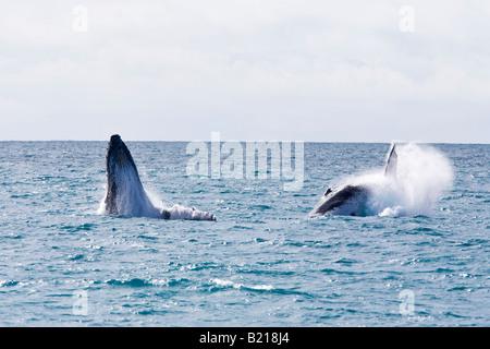 Buckelwale Jubarte Wal-Abrolhos Inseln in Bahia Brasilien - Stockfoto