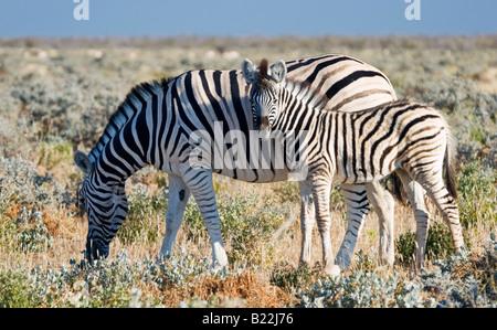 Eine Mutter und Fohlen Ebenen Zebra (Equus Quagga) im Etosha Nationalpark, Namibia - Stockfoto