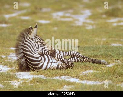 junge Grant Zebra - auf der Wiese liegend / Equus Quagga Boehmi - Stockfoto