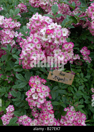 Strauch Rose (rosa Mozart) - Stockfoto