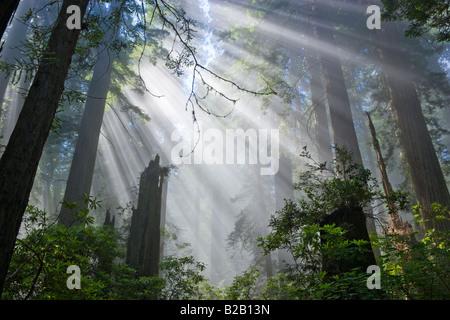 Die Strahlen der Sonne durch Nebel Redwood Forest. - Stockfoto