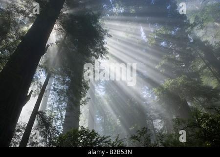 Sonnenstrahlen Filterung durch neblige Redwood Forest - Stockfoto