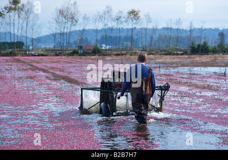 2007 Cranberry Ernte in Port Langley, BC, Kanada - Stockfoto