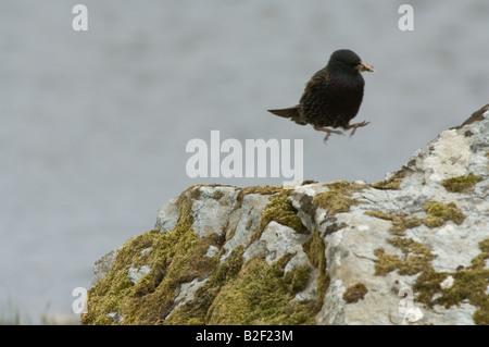Shetland Starling Sturnus Vulgaris Zetlandicus Erwachsener mit Nahrung im Schnabel kommen ins Land Fetlar Shetland - Stockfoto