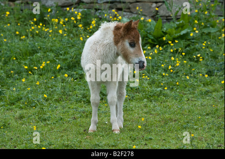 shetland pony shetland islands schottland europa stockfoto bild 20581168 alamy. Black Bedroom Furniture Sets. Home Design Ideas