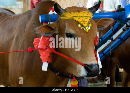 Stier des Kerapan Sapi Bull Race in Madura mit der Kopfschmuck - Stockfoto