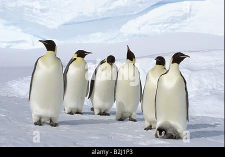Zoologie / Tiere, Vögel, Pinguine, Kaiserpinguin (Aptenodytes Forsteri), Antarktis, Dawson-Lambton-Gletscher, Vertrieb: - Stockfoto