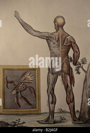 Medizin, Anatomie, männlichen Körper, Kupferstich von J.Remmelin, 18 ...