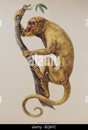 Zoologie/Tier, Säugetier/Säugetier, Affen, Heuler, Mycetes stramineus, männlich, lithograph, farbig, von 'Simiarum - Stockfoto