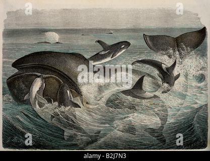 Zoologie, Säugetiere/Säugetiere, Wale (Cetacea), Bowhead Whale (Balaena mysticetus), von fünf Orcas (Orcinus Orca) - Stockfoto