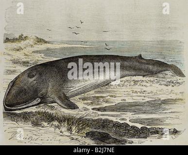 Zoologie, Säugetiere/Säugetiere, Wale (Cetacea), Finnwal, (Balaenoptera physalus), Holzgravur nach Zeichnung von - Stockfoto