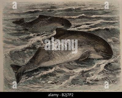 Zoologie, Säugetiere/Säugetiere, Delfine (Delphiniiden), Bottlenose Delfine (Tursiops truncatus), Holzgravur von - Stockfoto