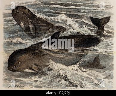 Zoologie, Säugetiere/Säugetiere, Delfine (Delphiniiden), Pilotwal (Globiocephalus melas), Holzgravur von F. Specht, - Stockfoto