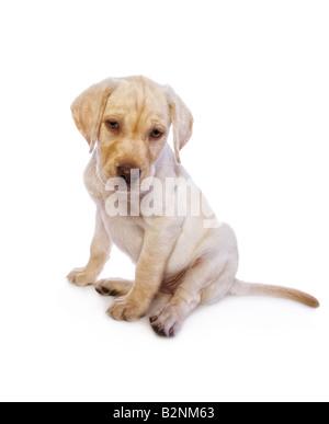 Entzückenden gelben Labrador Retriever Welpen suchen traurige isoliert auf weißem Hintergrund - Stockfoto