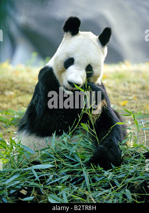 panda im franz sischen zoo stockfoto bild 139086771 alamy. Black Bedroom Furniture Sets. Home Design Ideas