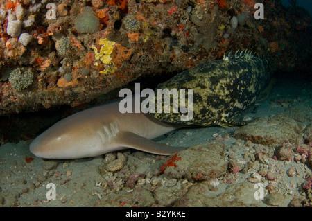 Ein Nurse Shark Ginglymostoma Cirratum und Goliath Grouper Epinephelus Itajara teilen einen Felsvorsprung in Juno - Stockfoto