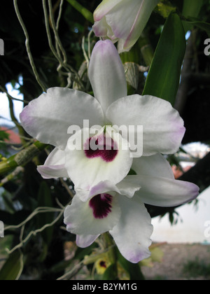 schwarze orchidee aus borneo stockfoto bild 62257987 alamy. Black Bedroom Furniture Sets. Home Design Ideas