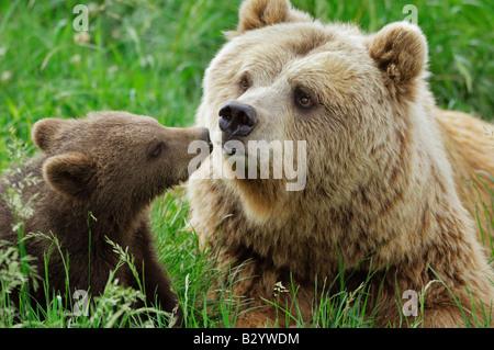 Weibliche Braunbären mit Cub auf Wiese - Stockfoto