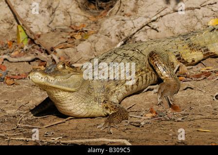 Gemeinsamen Kaiman in der Sonne liegen, Caiman Crocodilus, LLANOS, Venezuela, Südamerika - Stockfoto