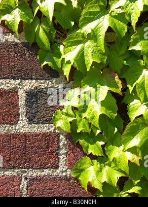 Efeu auf Mauer Nahaufnahme Stockfoto