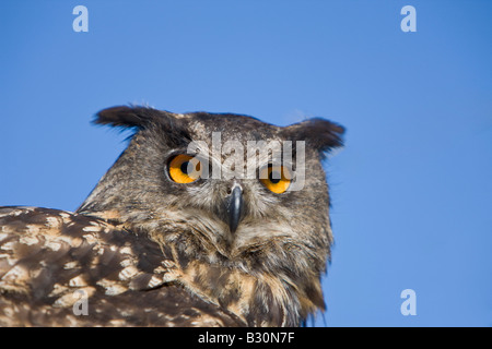 Eurasische Adler-Eule Bubo Bubo Deutschland Bayern - Stockfoto
